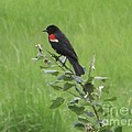 Red Wing Blackbird by Michelle Welles