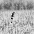 Red-wing Singing In The Marsh by Thomas Young