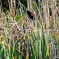 Red-winged Black Bird In The Cattails by Edward Peterson