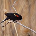 Red Winged Blackbird 1 by Ernie Echols