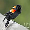 Red-winged Blackbird Display by Anthony Mercieca