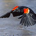 Red Winged Blackbird by Mircea Costina Photography