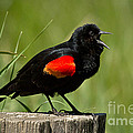 Red-winged Blackbird Singing by Alice Cahill