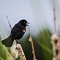Red Winged Blackbird Singing by Eti Reid