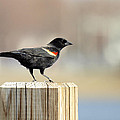 Red Winged Blackbird by Thomas Young
