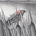 Red-winged Blackbird by Wayne Hardee