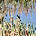 Red-winged Blackbird by William Fox