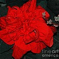 Red Winter Rose by Kathleen Struckle