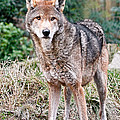 Red Wolf Alert by Athena Mckinzie