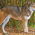 Red Wolf by Millard H. Sharp