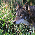 Red Wolf On The Hunt by Steve McKinzie