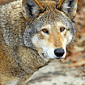 Red Wolf Portrait by Timothy Flanigan