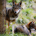 Red Wolves by Steve McKinzie