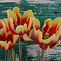 Red Yellow Tulips by To-Tam Gerwe