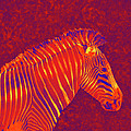 Red Zebra by Jane Schnetlage
