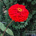 Red Zinnia 2 by Rod Ismay