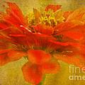 Red Zinnia Essence by Carol F Austin