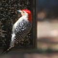 Redbellied Woodpecker by Robert Floyd
