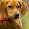 Redbone Coonhound - Man's Best Friend The Hound Dog by Kathy Clark