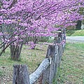 Redbud And Fence by Penny Parrish