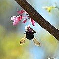 Redbud And The Bumble by Maria Urso