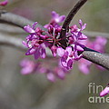 Redbud Blossom by Desiree Buchanan