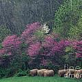 Redbud - Fm000095 by Daniel Dempster