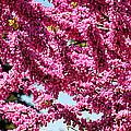 Redbud In Bloom by William Selander