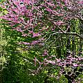 Redbud In The Woods by Susan Herber
