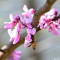 Redbud Pollinator by Maria Urso