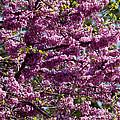 Redbud Tree In Blossom by Thomas Firak
