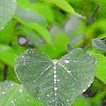 Redbud Water Droplets by Crystal Heitzman Renskers