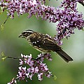 Redbud With Grosbeak by Fred Zilch