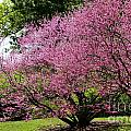 Redbuds In Action by Susan Herber