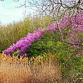 Redbuds In Bloom by Virginia Folkman