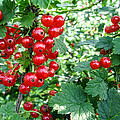 Redcurrant Berries by Zina Stromberg