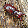 Reddish-brown Stag Beetle - Lucanus Capreolus by Mother Nature