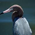 Reddish Egret 3 by David Weeks
