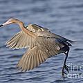 Reddish Egret Dance Fishing by Anthony Mercieca