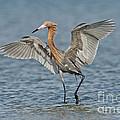 Reddish Egret Fishing by Anthony Mercieca