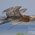 Reddish Egret Nest Building by Barbara Bowen