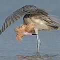Reddish Egret Preening by Mike Fitzgerald