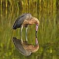 Reddish Egret Reflection by John Vose