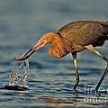 Reddish Egret Strike by Jerry Fornarotto