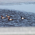 Redhead And Scaups Ducks by Wayne Williams