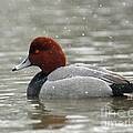 Redhead Duck In A Winter Snow Storm by Inspired Nature Photography Fine Art Photography