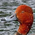 Redhead Duck by Ira Runyan