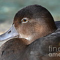 Redhead Duck by Robert Meanor