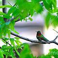 Redneck Humming Bird by L L L