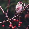 Redpoll On Crabapple Tree by MTBobbins Photography